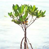 Pertamina Tanam Mangrove di Bali
