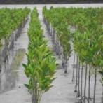 Pertamina Tanam Mangrove di Pantai Teluk Ambon
